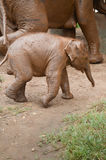 Baby elephant in Thailand Royalty Free Stock Photography