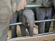 Baby Elephant in Thailand. With family Royalty Free Stock Images