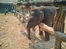 Baby elephant in their corral stock photos