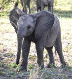 Baby Elephant. A tiny baby elephant exploring his surroundings in the Kruger National Park, South Africa stock photos