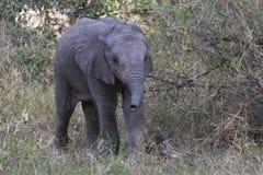 Baby elephant with tiny trunk Stock Photos