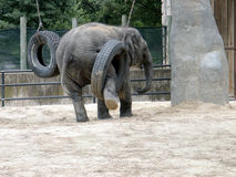 Baby Elephant with Tire Royalty Free Stock Photos