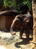 Baby elephant for tourists in Thailand Royalty Free Stock Photos