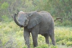 Baby Elephant trumperting Stock Photo