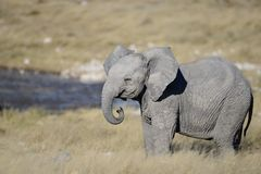 Baby elephant with trunk curled stock images