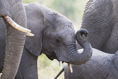Baby Elephant Trunk Up Stock Photos
