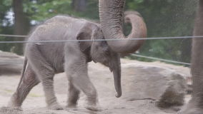 Baby elephant trying to find his way stock video