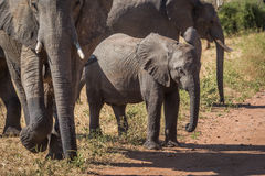 Baby elephant waiting to cross dirt track Stock Image