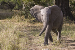 Baby elephant walk Stock Photography