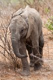 Baby elephant walking Stock Photography