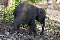 Baby Elephant. Is walking alone  in the forest Royalty Free Stock Image