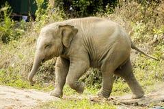Baby elephant walking Royalty Free Stock Photo
