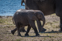 Baby elephant walking behind mother beside river Royalty Free Stock Image