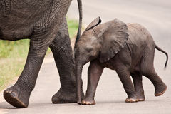 Baby elephant walking besides his mother Stock Image