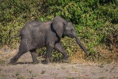 Baby elephant walking beside bushes in sunshine Royalty Free Stock Photos