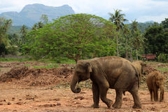 Baby elephant walking in the jungle on the mountain and trees background royalty free stock images