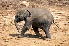 Baby elephant walking over rocky plains Royalty Free Stock Image