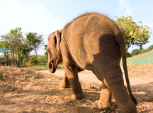 Baby Elephant walking  in park Royalty Free Stock Photos