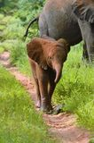 Baby elephant walking on path. Trunk curled up Royalty Free Stock Photo