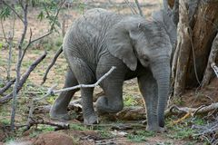 Baby elephant Royalty Free Stock Photography