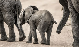 Baby Elephant walking, Serengeti Royalty Free Stock Image