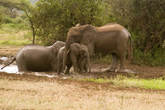 Baby elephant wants to get back in the pool. A mother elephant is successful in urging her baby elephant out of the pool.  the baby elephant wants to return to Stock Photo