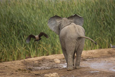 Baby Elephant watching a bird. Take to flight in the African bush royalty free stock photo