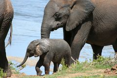 Baby Elephant at water. Baby African Elephant and it's mother at a water hole in the African bush veld Stock Images