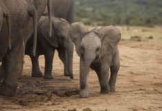 Baby elephant at water hole Stock Photography
