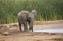 Baby elephant at water hole Stock Images