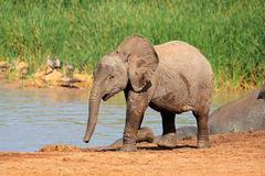 Baby elephant at waterhole. A baby African elephant (Loxodonta africana) at a waterhole, Addo Elephant National Park, South Africa stock photos