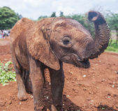 Baby Elephant Waves at the Camera. An adorable and muddy Baby Elephant Reaching out a curious trunk toward the viewer Royalty Free Stock Images