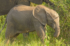Baby Elephant in the Wilds Royalty Free Stock Images