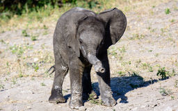 Baby Elephant with a wonky trunk Royalty Free Stock Photography