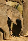 Baby elephant yawning Royalty Free Stock Images