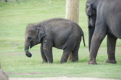 Baby elephant at zoo Royalty Free Stock Image