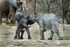Baby elephants Stock Photos