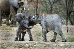 Baby elephants Stock Photos