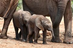 Baby Elephants Royalty Free Stock Photos