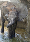 A Baby Elephants cools off playing in waer on ahot day Stock Image