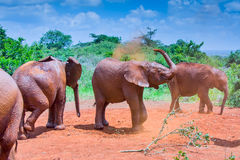 Baby Elephants Dust Bathing In Red Soil Of Kenya Stock Photo