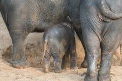 Baby elephants Stock Images