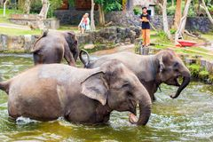 Baby elephants enjoing in water in Bali, Indonesia royalty free stock photography