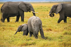 Baby elephants with family Stock Image
