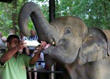 Free Baby Elephants Feading At Elephant Orphanage Royalty Free Stock Photos - 9489828