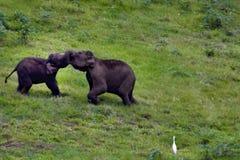 Baby elephants fighting royalty free stock image