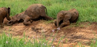 Baby elephants fooling around in the dirt royalty free stock photos