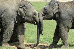 Baby Elephants Greeting. A pair of Baby Asian Elephants greeting Stock Images