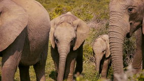 Baby elephants in a group. Two small elephants in a family group stock footage