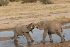 Baby elephants heads locked fighting Royalty Free Stock Images